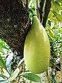 Bignoniaceae fruit.jpg