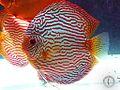 Biotópica, breeding discus fish Turquoise Carnation.jpg