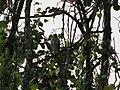 Bird Crested Goshawk Kharsang.jpg