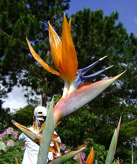 Bird of Heaven Plant in Dalat City, Vietnam.JPG