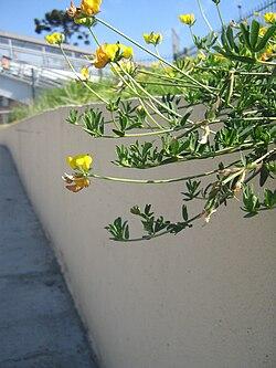 Lotus genus simple english wikipedia the free encyclopedia lotus mightylinksfo
