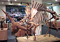 Bison latifrons fossil buffalo (Pleistocene; North America) 5 (15257948758).jpg