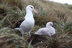 photographie. Un albatros adulte surveillant un jeune accroupi dans son nid en forme de cratère volcanique
