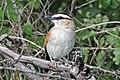 Black-crowned tchagra (Tchagra senegalus kalahari).jpg