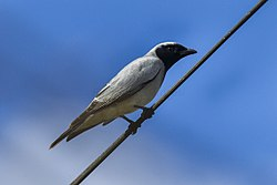 Black-faced Cuckoo-Shrike - Queensland S4E8710 (22198574950).jpg