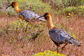 Black-faced Ibises in Torres del Paine National Park.jpg
