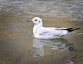 Black-headed gull (31719215203).jpg