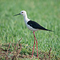 Black-winged Stilt, Basai (8724392657).jpg