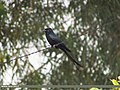 Black Drongo (Dicrurus macrocercus) (15706924658).jpg