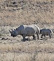 Black Rhinos (Diceros bicornis bicornis) female and young ... (32194768560).jpg