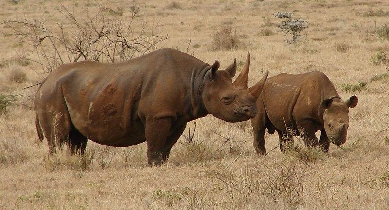 Black Rhinos eating in Kenya