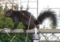 Black Squirrel 2.jpg