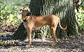 Black mouth cur-10.jpg