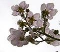 Blackberry Flowers (3947146817).jpg