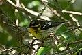Blackburnian Warbler (female) Sabine Woods TX 2018-04-22 08-57-18 (41092202065).jpg