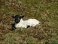Blackface lamb - geograph.org.uk - 768841.jpg