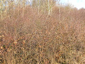 Taphrina pruni - Blackthorn (Prunus spinosa) thicket infected with Pocket Plum.
