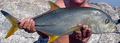 Blacktip trevally Oman 2.jpg