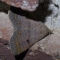 Bleptina caradrinalis P1390961a.jpg