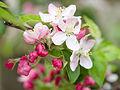 Blossom (9029023370).jpg
