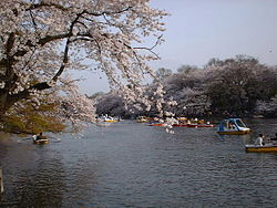 Park during cherry blossom season.