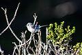 Blue-Gray Gnatcatcher (23368811232).jpg