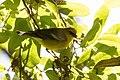 Blue-winged Warbler (male) Smith Oaks High Island TX 2018-04-17 14-23-32 (41048913595).jpg