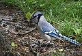 Blue Jay gathering nesting material (32863042007).jpg