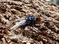 Blue arse fly (3359760720).jpg