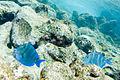 Blue tang Acanthurus coeruleus (4686741472).jpg