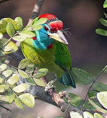 Blue throated Barbet I IMG 1015.jpg