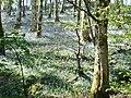Bluebell wood, near Girthon, Galloway - geograph.org.uk - 986578.jpg