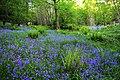 Bluebells - panoramio (2).jpg