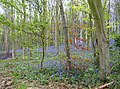 Bluebells in Barnsdale Wood - geograph.org.uk - 456779.jpg