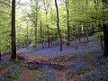 Bluebells near Wenchford - geograph.org.uk - 39378.jpg
