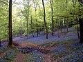 Bluebells near Wenchford - geograph.org.uk - 39378.jpg