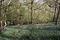 Bluebells on Hollybush Hill - geograph.org.uk - 779738.jpg