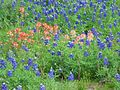 Bluebonnets 28-Mar-2013.JPG
