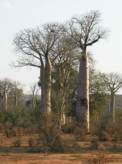 <i>Adansonia za</i> species of plant