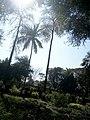 Bombax ceiba Silk cotton tree at Nagarjun Gardens, Akola, India1.jpg
