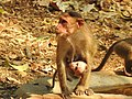 Bonnet Macaque Macaca radiata with young by Dr. Raju Kasambe DSCN0473 (8).jpg