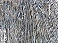 Borassus aethiopum 0041.jpg