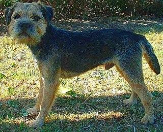 Border Terrier Dog breed