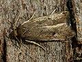 Borkhausenia luridicomella (26295244977).jpg
