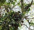 Bostrychia hagedash, op nes in Celtis africana.jpg