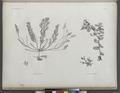 Botanique. 1. Fucus trinodis; 2.2'. Fucus latifolius (NYPL b14212718-1268686).tiff
