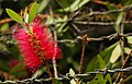 Bottle Brush on Wire (1462770769).jpg