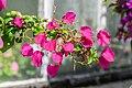 Bougainvillea glabra in Botanischer Garten Muenster (1).jpg