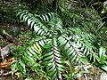 Bowenia spectabilis Mossman 1.JPG