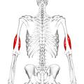 Brachialis muscle05.png